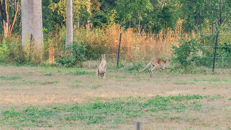 Wallabees in Parry Creek Farm