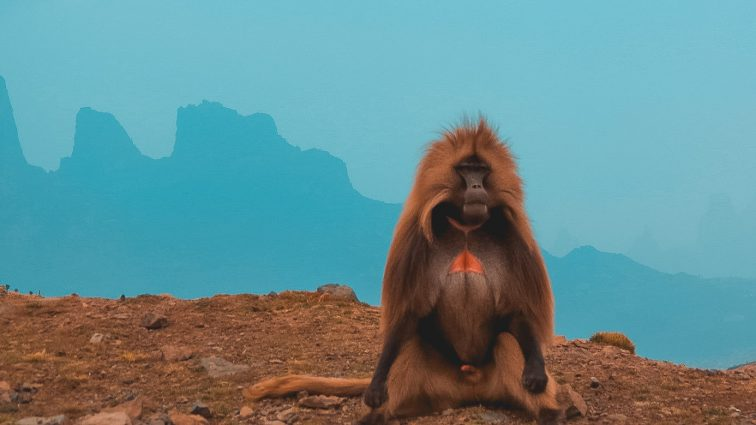 Gelada Baviaan in Ethiopië, Simien Mountains nationaal park