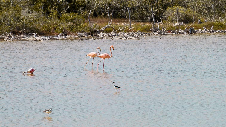 Las Coloradas. Flamingo's
