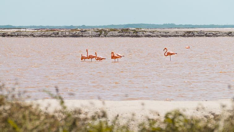 Flamingos Las Coloradas Mexico