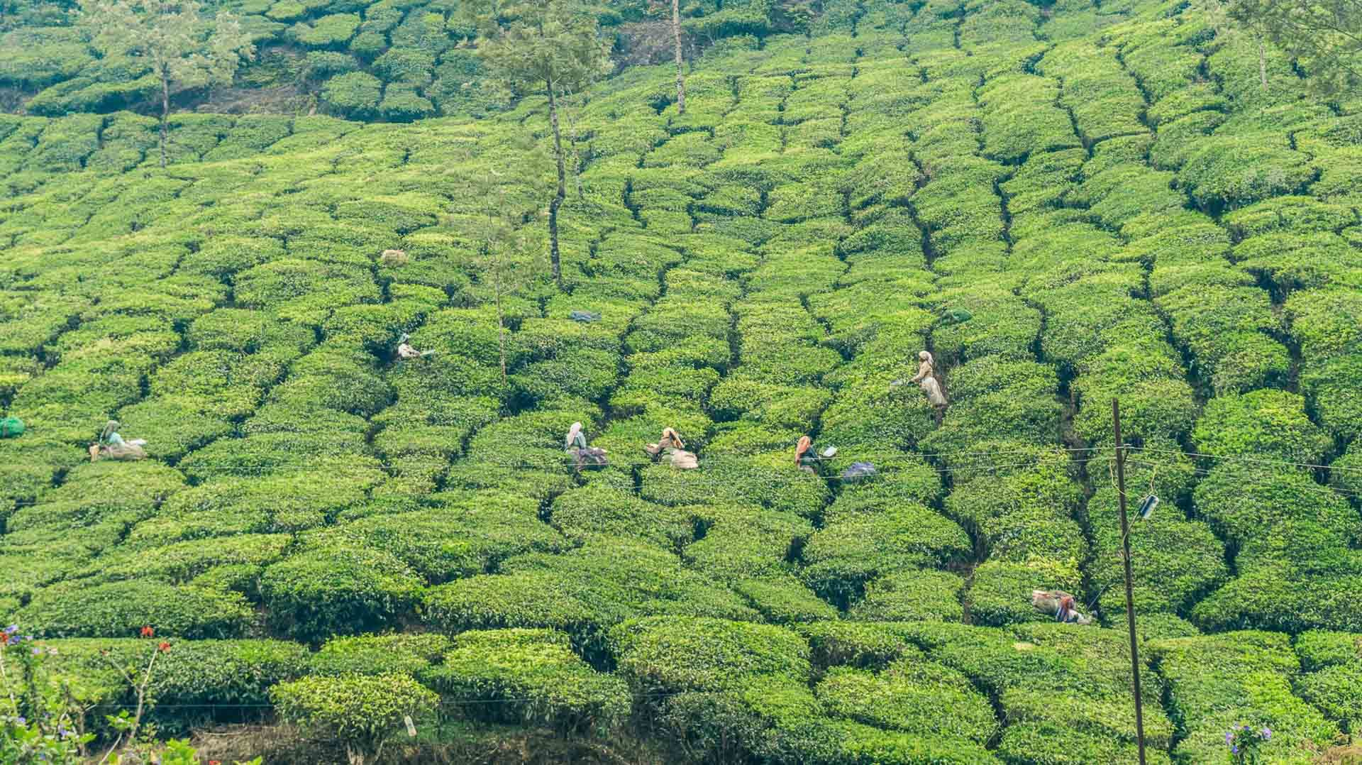 Thee plukkers in Munnar, Kerala, India