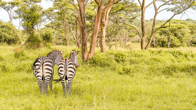 Lake Mburo National Park zebra's